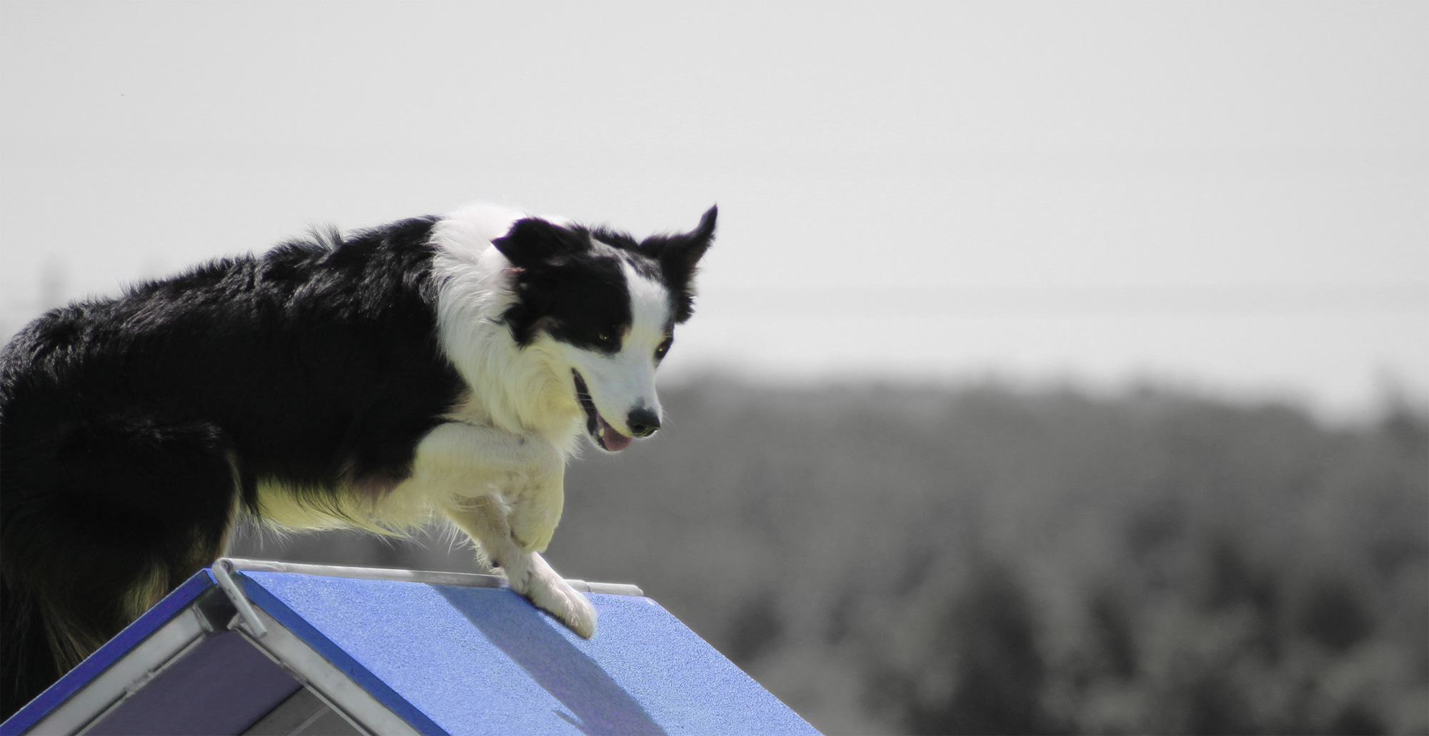 Dog climbing over agility obstacle